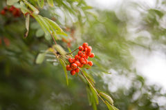Rowan branch. Autumn Rowan branch with berries Stock Image