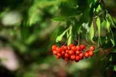 Rowan. Branch with rowan berries closeup shot stock image