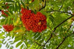 Rowan. Branch with rowan berries closeup shot with blue sky stock images