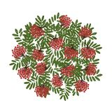 Rowan branch with berries, frame for your design Royalty Free Stock Image