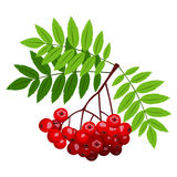Rowan branch with berries and leaves. Royalty Free Stock Images