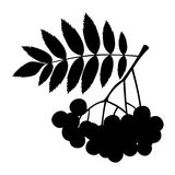 Rowan branch with berries and leaves. Vector black silhouette. Stock Image
