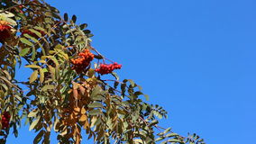 Rowan branch with berries shaking from wind against of the blue sky in the fall stock video footage