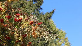 Rowan branch with berries shaking from wind against of the blue sky in the fall stock video
