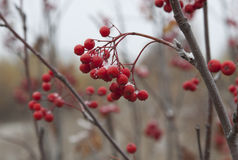 Rowan branch with berries and snow  . Stock Images