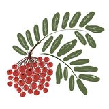 Rowan branch with berries for your design Stock Image