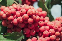 Rowan branch with a bunch of red ripe berries. Sorbus aucuparia tree closeup on sky background.  stock images