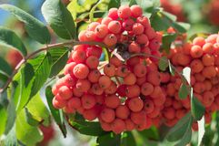 Rowan branch with a bunch of red ripe berries. Sorbus aucuparia tree closeup on sky background.  stock image