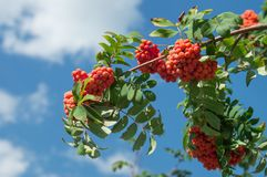 Rowan branch with a bunch of red ripe berries. Sorbus aucuparia tree closeup on sky background.  royalty free stock photography