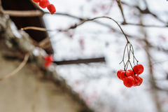 Rowan. Branch with bunches of rowan berries under snow in the winter. A beautiful red and white winter background. Sorbus aucuparia Royalty Free Stock Photography