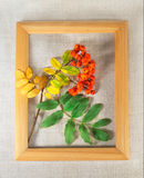 Rowan branch on the canvas in wooden frame Royalty Free Stock Photo