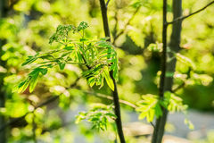 Rowan branch in the evening light in spring Royalty Free Stock Image