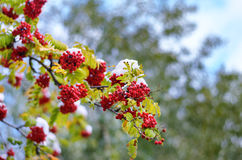 Rowan branch with green leaves and rad berries under the snow Royalty Free Stock Photography