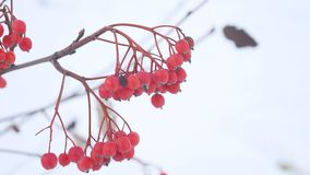 Rowan branch red berries nature winter snow stock footage