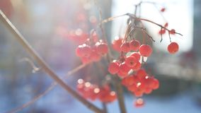 Rowan branch red berries nature winter snow on a blue background stock video