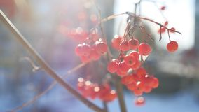 Rowan branch red berries nature winter snow on a blue background Royalty Free Stock Images
