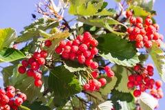 Rowan on a branch. Red rowan. Rowan berries on rowan tree. Sorbus aucuparia. Rowan on a branch. Red rowan. Rowan berries on rowan tree. Sorbus aucuparia stock photo