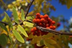 Rowan on a branch. Red rowan. Rowan berries on rowan tree. Sorbus aucuparia. Rowan on a branch in the beginning of October. Red rowan. Rowan berries on rowan stock images