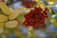 Rowan on a branch. Red rowan. Rowan berries on rowan tree. Sorbus aucuparia. Rowan on a branch in the beginning of October. Red rowan. Rowan berries on rowan stock photography