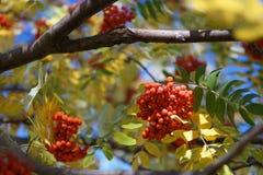 Rowan on a branch. Red rowan. Rowan berries on rowan tree. Sorbus aucuparia. Rowan on a branch in the beginning of October. Red rowan. Rowan berries on rowan royalty free stock photography