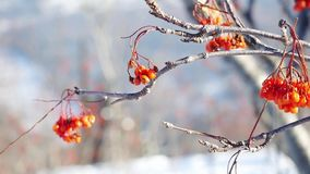 Rowan branch red berries winter beautiful nature snow on a blue background with lense flare effects stock footage