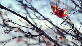 Rowan branch red berries winter beautiful nature snow on a blue background with lense flare effects stock video footage