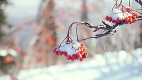 Rowan branch red berries winter beautiful nature snow on a blue background with lense flare effects stock video