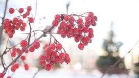 Rowan branch red berries winter nature snow stock video