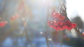 Rowan branch red berries winter nature snow on a blue background stock video footage