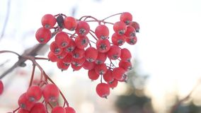 Rowan branch red berries winter snow nature stock footage