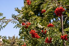 Rowan branch with red ripe berries in late summer against a blue sky background. The image is ideal for placing in an article or as a background royalty free stock photos