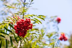Rowan branch with red ripe berries in late summer against a blue sky background. The image is ideal for placing in an article or as a background stock photography
