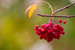 Rowan or Sorbus aucuparia on a branch of tree in autumn park. Rowan on a branch. Red rowan. Rowan berries on rowan tree. Sorbus aucuparia stock photography