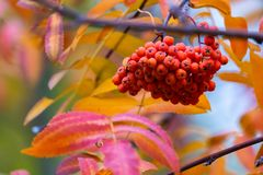 Rowan or Sorbus aucuparia on a branch of tree in autumn park. Rowan on a branch. Red rowan. Rowan berries on rowan tree. Sorbus aucuparia royalty free stock photos