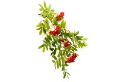 A rowan branch. On a white background royalty free stock image