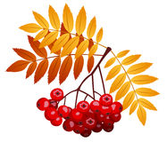 Rowan branch with rowanberries and leaves. Vector Stock Photos