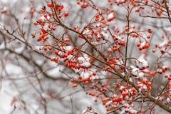 Rowan branch in the snow Stock Photos