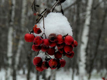 Rowan branch with snow Royalty Free Stock Photography
