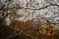 Rowan branch Sorbus aucuparia with red lots of berries. In late autumn, vintage look Stock Photos