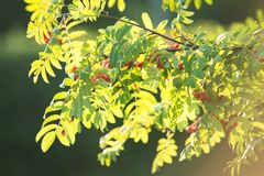 Rowan Branch Stock Photo