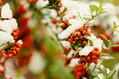 Rowan branch under snow in the winter. Selective focus. Royalty Free Stock Image