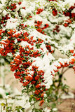 Rowan branch under snow in the winter. Selective focus. Stock Photography