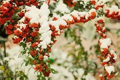 Rowan branch under snow in the winter. Selective focus. Stock Photos