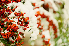 Rowan branch under snow in the winter. Selective focus. Stock Images