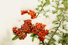 Rowan branch under snow in the winter. Selective focus. Royalty Free Stock Photography