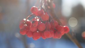 Rowan branch winter red berries nature snow on a blue background stock video footage