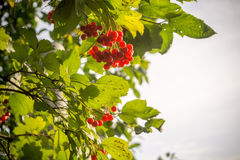 Rowan Branches with Berries Royalty Free Stock Photos