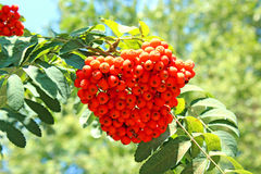 Rowan branches with bright berries Royalty Free Stock Photos