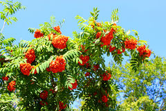 Rowan branches with bright berries Stock Photography
