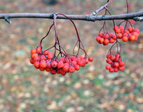 Rowan branches with bright berries Stock Image